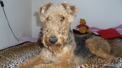 Airedale terrier, pes (3 měsíce)