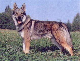 Pořídil jste si psa plemene československý vlčák (ČSV). Jak jsem napsal již  minule 85dda293b8